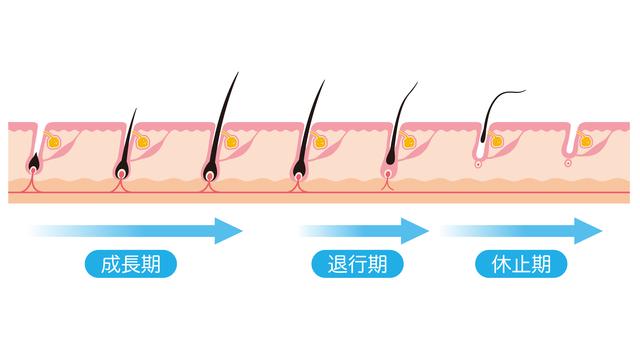 毛の成長サイクル